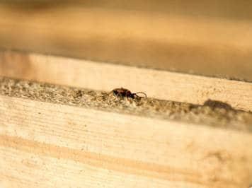 Tree Termites.